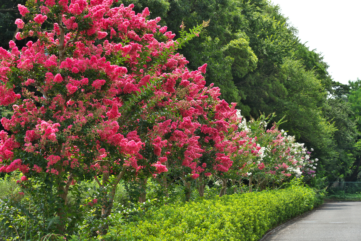 How to Have Success With Crapemyrtles in Your Landscaping
