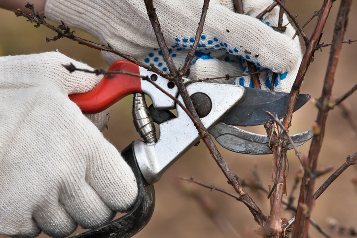 rejuvenative pruning